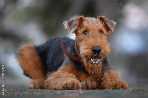 Airedale Terrier dog - puppy 7.5 month old. Canvas Print