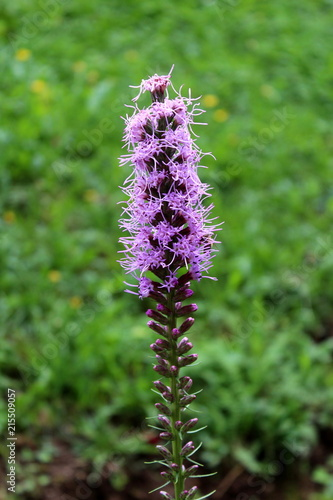 Dense blazing star or liatris spicata or prairie gay feather dense blazing star or liatris spicata or prairie gay feather herbaceous perennial flowering plant with tall spikes of purple flowers half open at top with mightylinksfo