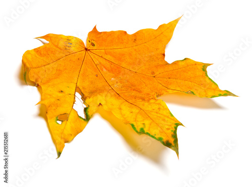 Autumn yellow maple leaf with hole