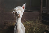 White alpaca on the farm