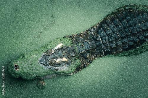 Foto op Plexiglas Krokodil Crocodile in a lake