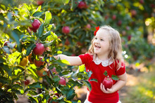 Little Girl Picking Apple In F...