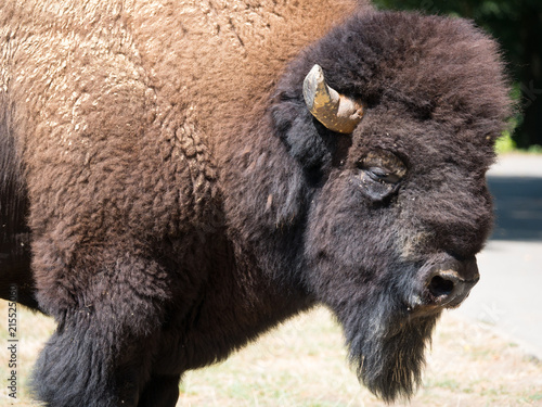 In de dag Buffel Bison