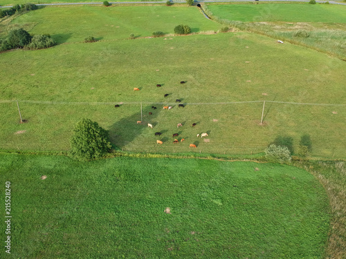Tuinposter Luchtfoto Cattle herd resting on pasture meadow field, aerial view