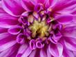 Close up of dahlia flower.