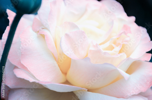 Foto op Aluminium Spa Blurred image - pink rose flower, gentle petals close up. Floral background, toned with retro filters. English roses sort Excalibur, Rosemary Harkness.