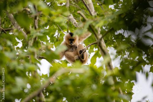 Photo  Tan Monkey
