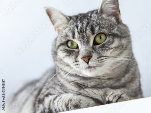 Fotografie, Obraz  The beautiful fluffy cat of tabby looks around herself