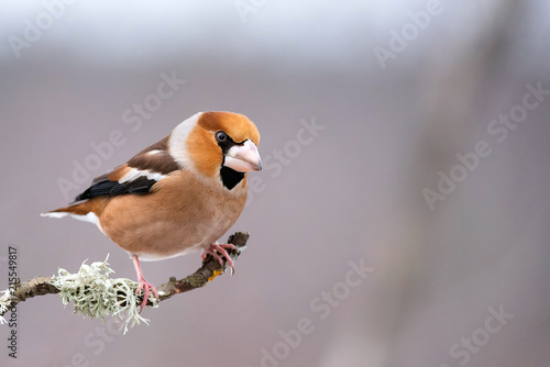 Photo Hawfinch (Coccothraustes coccothraustes) sitting on a branch