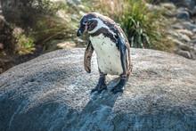 Humboldt Penguin Awkwardly Jum...