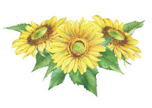 Poster, Composition With Yellow Flower Of Agriculture Plant Sunflower (also Known As Helianthus Annuus). Watercolor Hand Drawn Painting Illustration Isolated On A White Background