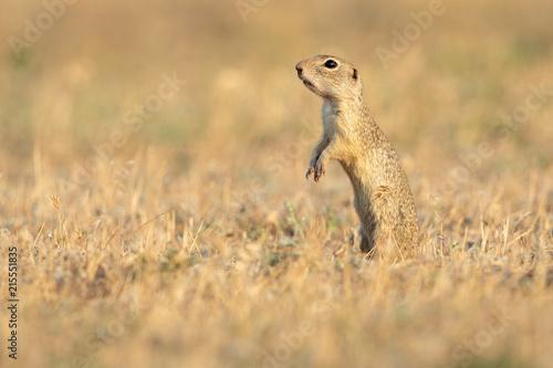 Fotografie, Obraz  European ground squirrel