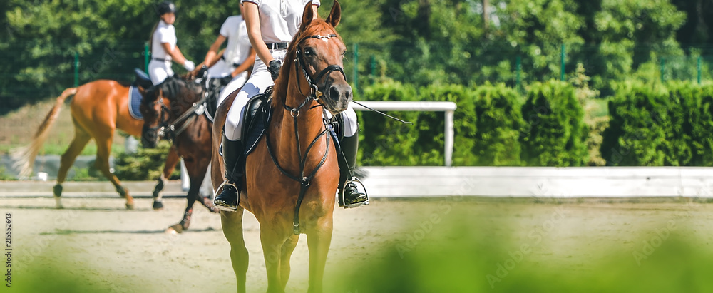 Fototapety, obrazy: Horse horizontal banner for website header design. Dressage horse and rider in uniform during equestrian competition. Blur green trees as background.