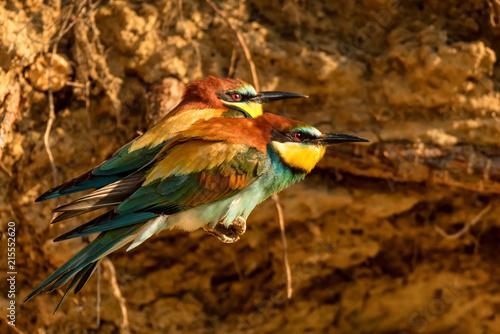 Exotic birds European bee-eater or Merops apiaster - Buy