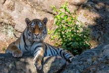 Siberian Or Amur Tiger (Panthe...