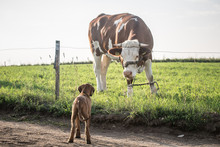 Dog And A Cow.