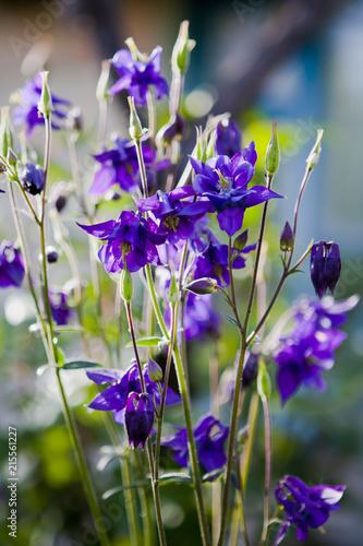 Fotografering violet aquilegia flowers
