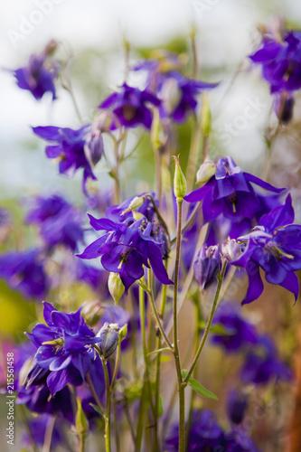 violet aquilegia flowers Canvas Print