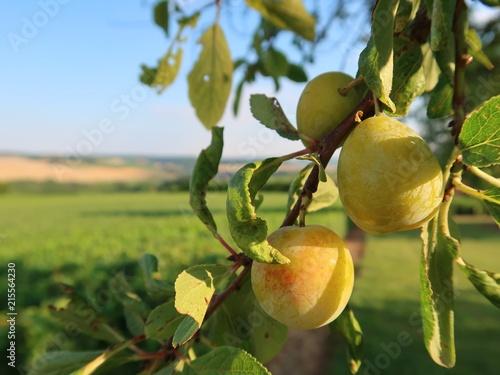 Mirabelles sur une branche d'arbre, avec un paysage de campagne en arrière-plan (France)