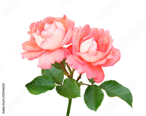 Branch with two pink and peach roses climbing the stem, leaves , isolated on white background with a clipping path.