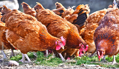 Photo Chickens on traditional free range poultry farm