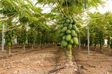 Plantación De Papaya En Inver...