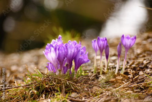 Staande foto Lente Beautiful violet crocus flowers growing on the dry grass, the first sign of spring. Seasonal easter background.