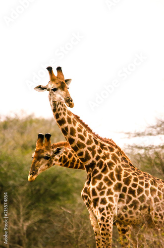 Two-Headed Giraffe Poster