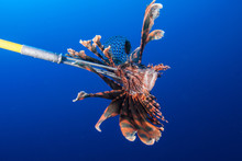 An Invasive Red Lionfish Has B...