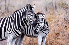 Zebra_Mother&Foal