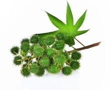 Castor Leaf Fresh On White Background
