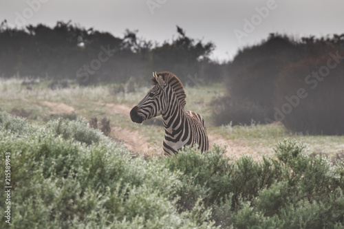 Foto op Plexiglas Zebra Zebra in the mist