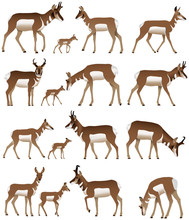 Collection Of Pronghorn Antelo...