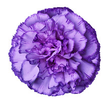 Purple Carnation Flower On A W...