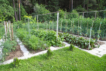 Beds With Vegetable Crops, A Country Garden. Organic Farming, Vegetarian Food - Carrots, Cucumbers, Dill, Tomatoes, Onions, Garlic, Peas.