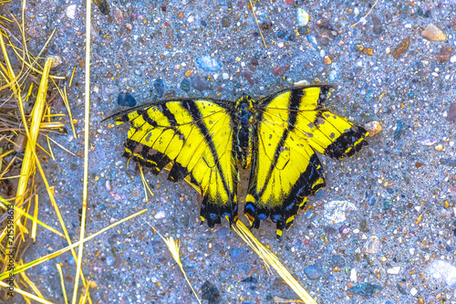 Foto auf Gartenposter Schmetterlinge im Grunge Yellow and white butterfly dead on sidewalk
