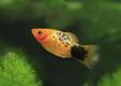 canvas print picture - Platy oder auch Spiegelkärpfling (Xiphophorus maculatus)
