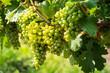 canvas print picture - Grüne Trauben auf Weinrebe