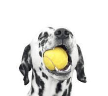 Cute Dalmatian Dog Holding A B...