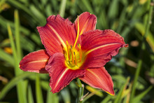 Hemerocallis 'Morocco Red' A S...