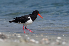 Pied Oystercatcher - Haematopus Longirostris - Wading Bird Native To Australia And Commonly Found On Its Coastline.
