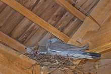Pigeon In The Nest Under The R...