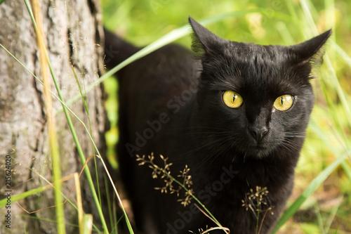 Stampa su Tela Black cat portrait outdoors, green grass