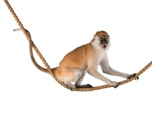 Cute Monkey Animal Isolated On White Background