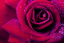 Red Rose Closeup With Water Drop.