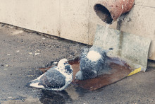 Pigeons Take Spring Baths, Bat...