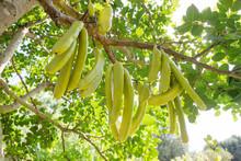 Green Pods Of Locust Beans (Fa...