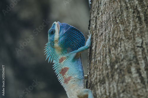 Photo  Blue-crested Lizard or Indo-Chinese Forest Lizard