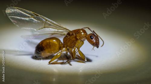 Plakat Zamyka up latająca mrówka