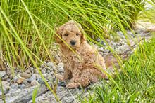 Puppy Mini Goldendoodle Cute